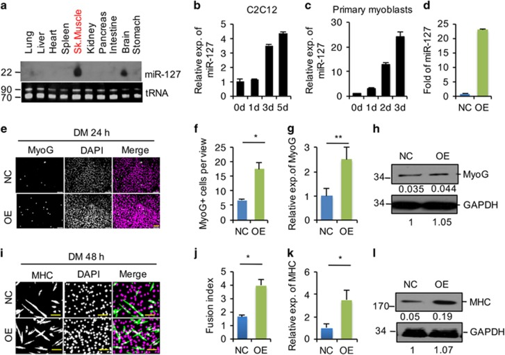 miR-127 enhances C2C12 cell differentiation. ( a ) Detection of the mature form of miR-127-3p by Northern blotting in the indicated tissues from 3-week-old mice. Transfer RNA (tRNA) was used as a loading control. ( b and c ) Quantification of miR-127-3p expression in C2C12 cells ( b ) and primary myoblasts ( c ) by quantitative real-time polymerase chain reaction (qRT-PCR) at the indicated days during differentiation. The data were normalized using U6. miR-127 expression levels were further normalized to the expression level of 0 days, defined as 1. ( d ) Fold overexpression of miR-127-3p in C2C12 cells, quantified by qRT-PCR. OE, C2C12 cells infected with miR-127-expressing lentivirus; NC, C2C12 cells infected with control lentivirus. The data were normalized using U6. miR-127 expression levels were further normalized to the expression level of NC, defined as 1. ( e ) Immunostaining for MyoG (green) and DAPI (magenta) after 24 h of culture in DM. Scale bars, 50 μ m. ( f ) Quantification of MyoG + cells presented in panel e. The data are representative of three independent experiments. For each experiment, 10 representative views were analyzed, and data are presented as positive cell numbers per view. Statistical analysis was performed with nonparametric tests. ( g ) Quantification of MyoG mRNA levels by qRT-PCR in NC and miR-127 OE cells, differentiated as in panel e. The data were normalized using GAPDH. MyoG expression levels were further normalized to the expression level of NC, defined as 1. Statistical analysis was performed with nonparametric tests. ( h ) Western blot analysis of MyoG protein levels in NC and miR-127 OE cells, differentiated as in panel e. GAPDH was used as a loading control. The numbers below each blot were the relative quantification of band intensity determined by Image J. ( i ) Immunostaining for MHC (green) and DAPI (magenta) after 48 h of culture in DM. Scale bars, 50 μ m. ( j ) Fusion index of the differentiated cells presented in pane