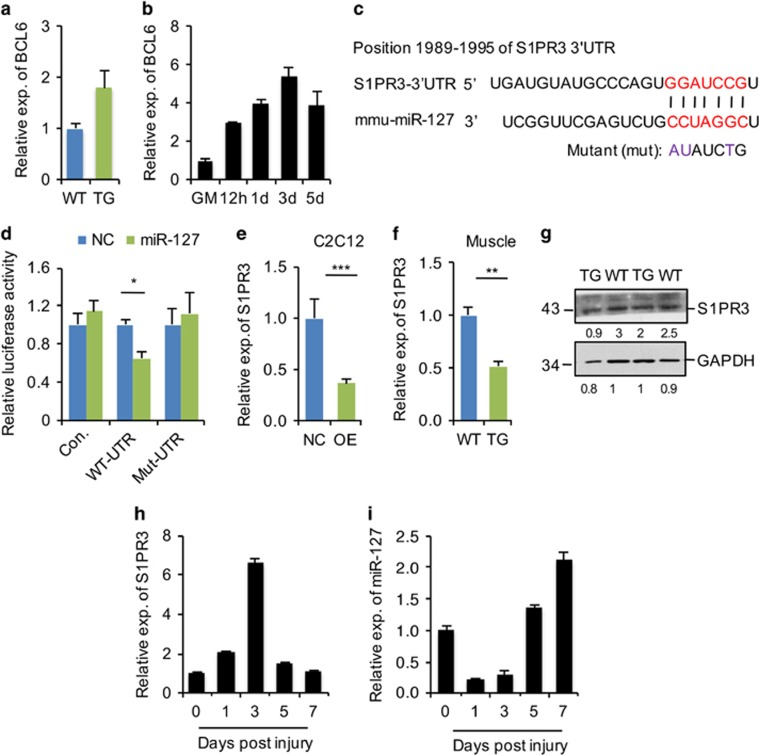 <t>S1PR3</t> is a target of miR-127 both in vitro and in vivo . ( a ) Quantitative real-time polymerase chain reaction (qRT-PCR) analysis of BCL6 gene expression in TA muscle from 8-week-old WT and miR-127 TG mice. The data were normalized using <t>GAPDH</t> . BCL6 expression levels were further normalized to the expression level of WT, defined as 1. ( b ) Quantification of BCL6 mRNA in C2C12 cells grown in growth media (GM) and the indicated days during differentiation, determined by qRT-PCR. The data were normalized using GAPDH . BCL6 expression levels were further normalized to the expression level of GM, defined as 1. ( c ) Sequence alignment shows the target sites of miR-127 in the 3′-UTR of mouse S1PR3 , as predicted by miRWalk. A mutation in the seed matches is indicated by 'mut'. ( d ) miR-127 directly repressed WT S1PR3 3′-UTR in luciferase assays in HEK293 cells, and the repression was abolished by mutation of the miR-127 binding site in the S1PR3 3′-UTR. The values are means±S.E. from three independent experiments. ( e ) Quantification of S1PR3 mRNA levels in miR-127-OE and control (NC) C2C12 cells by qRT-PCR. The data are a representative of three independent experiments, each performed in tripl icate. The data were normalized using GAPDH . S1PR3 expression levels were further normalized to the expression level of NC, defined as 1. ( f ) S1PR3 mRNA levels in TA muscle from 8-week-old WT and miR-127 TG mice, determined by qRT-PCR ( n =5 mice per genotype). The data were normalized using GAPDH . S1PR3 expression levels were further normalized to the expression level of WT, defined as 1. ( g ) Western blot analysis of S1PR3 protein in TA muscles of 8-week-old WT and miR-127 TG mice. The numbers below each blot represent quantified signal intensities of individual bands. ( h ) qRT-PCR analysis of S1PR3 in TA muscle at the indicated days after CTX-induced injury ( n =3 mice per genotype). The data were normalized using GAPDH . S1PR3 expression levels were fur