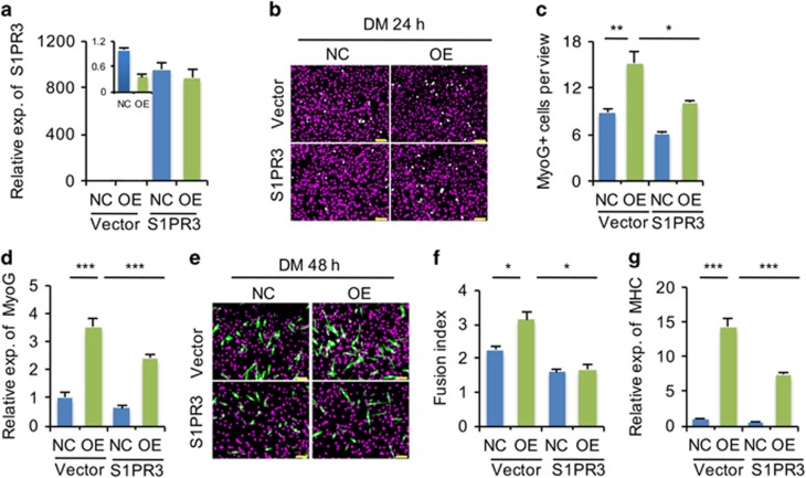 miR-127 enhances myogenic differentiation by targeting S1PR3 . ( a ) Quantitative real-time polymerase chain reaction (qRT-PCR) analysis of S1PR3 fold overexpression in miR-127 OE cells transiently transfected with an S1PR3 expression plasmid; cells transfected with empty vector served as a negative control (NC). The data were normalized using GAPDH . S1PR3 expression levels were further normalized to the expression level of NC transfected with empty vector, defined as 1. ( b ) Immunostaining for MyoG (green) in miR-127 OE cells transiently transfected with an S1PR3 expression plasmid and NC cells transfected with empty vector. The cells were cultured in DM for 24 h. DAPI staining (magenta) indicates nuclei. Scale bars, 50 μ m. ( c ) Quantification of MyoG + cells in panel b. The data are representative of three independent experiments. For each experiment, 10 representative views were analyzed, and data are presented as positive cell numbers per view. ( d ) Quantification of MyoG expression by qRT-PCR in cells described in panel b. The data were normalized using GAPDH . MyoG expression levels were further normalized to the expression level of NC transfected with empty vector, defined as 1. ( e ) Immunostaining for MHC (green) in miR-127 OE cells transiently transfected with an S1PR3 expression plasmid and NC cells transfected with empty vector (NC). The cells were cultured in DM for 48 h. DAPI staining (magenta) indicates nuclei. Scale bars, 50 μ m. ( f ) The fusion index, calculated as the percentage of the total nuclei present in multinucleated myotubes, was determined for MHC-stained cells presented in panel e. The data are representative of three independent experiments. For each experiment, 10 representative views were analyzed. ( g ) Quantification of MHC expression in cells indicated in panel ( e ). The data were normalized using GAPDH . MHC expression levels were further normalized to the expression level of NC transfected with empty vector, defined as 1. N