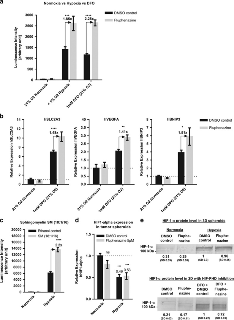 Fluphenazine induces HIF overactivation in conditions of high HIF background levels. ( a ) HIF activity reporter cells HCT116-HRE-Luc were treated either with DMSO control or 10 μ M Fluphenazine and incubated for 16 h in normoxia, hypoxia or in normoxia with the HIF-PH inhibitor DFO. After incubation, cells were lysed and luciferase activity was measured. Bars show mean with S.D. ( n =3). ( b ) HCT116 cells were treated for 24 h with or without DFO (1 mM) and additionally with either DMSO control or Fluphenazine (5 μ M). Gene expression analysis was performed for three HIF1 target genes (SLC2A3, VEGFA and BNIP3) by real-time quantitative PCR (RT-qPCR). hRP-L32 was used as reference gene and relative expression level were normalized to the untreated control (no DFO, DMSO). Bars show mean with S.D. ( n =3). ( c ) HCT116-HRE-Luc cells were treated with either Ethanol control or 100 μ M SM (18:1/16) and incubated for 24 h either in normoxia or hypoxia. After incubation, cells were lysed and luciferase activity was measured ( n =3). ( d ) RT-qPCR analysis of HIF-1-a mRNA level of HCT116 Spheroids treated for 24 h in normoxia or hypoxia with either DMSO control or 5 μ M Fluphenazine. hRP-L32 was used as reference gene and the relative expression level were normalized with the untreated control (normoxia DMSO control). Bars show mean with S.D. ( n =3). ( e ) Western blotting analysis of HIF-1-a protein expression in HCT116 spheroids or HCT116 cells grown in 2D that were treated for 24 h with either DMSO control or 5 μ M Fluphenazine under normoxia, hypoxia or normoxia+1 mM DFO. Representative data of multiple experiments are shown ( n =3). Intensity values were normalized to loading control and DMSO-treated controls under hypoxia (upper row) or DMSO controls co-incubated with DFO (lower row). Beta-actin was used as an internal control (not shown). * = P -value between 0.01 and 0.05, ** = P -value between 0.001 and 0.01, *** = P -value between 0.0001 and 0.001, **** = P -va