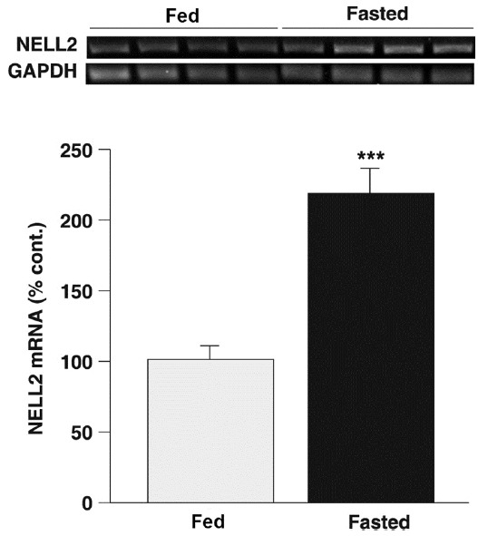 Fasting promoted NELL2 synthesis in the hypothalamus RT-PCR was performed using the hypothalamic total RNA to detect a transcriptional level of NELL2 from control fed (n = 4) and 48-h fasted animals (n = 4). The PCR products for NELL2 were normalized by GAPDH. Hypothalamic NELL2 synthesis was significantly increased in the fasted animals compared with that in control (P
