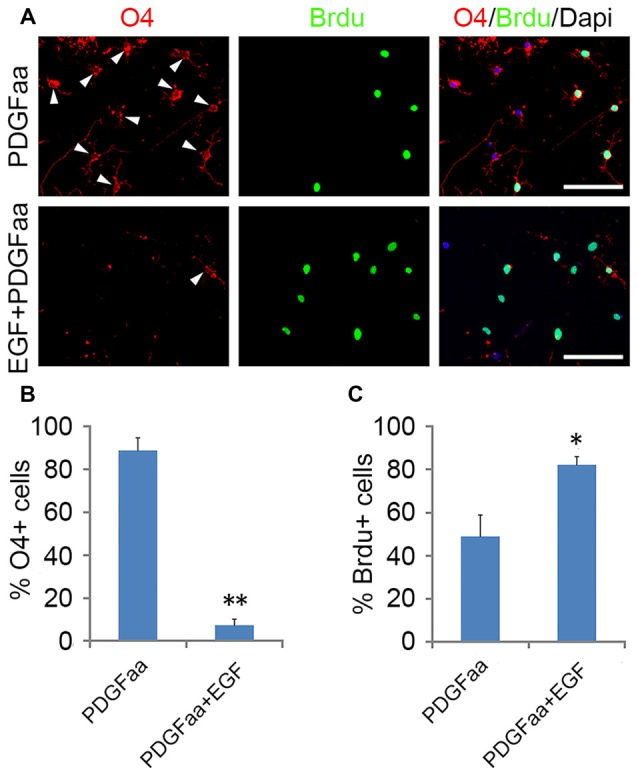 Synergistic effect of <t>PDGFaa</t> and <t>EGF</t> in promoting the self-renewal of O4 − OPCs. (A) Representative images of O4 + and/or BrdU + cells cultured in PDGFaa or PDGFaa + EGF for 5 days, cell proliferation was analyzed by BrdU incorporation for 24 h before fixation. (B) Quantification of O4 + cells in PDGFaa and PDGFaa + EGF cultures. (C) Quantification of BrdU + cells in PDGFaa and PDGFaa + EGF cultures. Statistical analyses are presented as mean ± SD, n = 3. * P