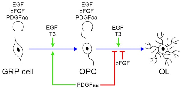 Biological effects of EGF, PDGFaa, bFGF and T3 in the progression of OL lineage. EGF has multiple biological effects on oligodendrogenesis, and its functional output is influenced by other signal molecules, such as PDGFaa and T3. In GRP cells, EGF and bFGF collaborate with PDGFaa to promote the self-renewal of GRP cells. When EGF is present alone, it favors the development of GRP cells to OPCs, and this progress is accelerated by supplementing PDGFaa and T3 simultaneously. In OPCs, EGF and bFGF enhance their responsiveness to PDGFaa and thus maintains their O4 negative phenotype as well as bipolar or tripolar cell morphology. When EGF is present alone, it synergizes with T3 to promote the terminal differentiation of OPCs, whereas bFGF and PDGFaa inhibit this differentiation process.