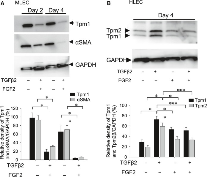 Expression of Tpm1 and αSMA proteins in MLECs and HLECs stimulated with FGF2 and TGFβ2. Cultured MLECs ( A ) and HLECs ( B ) were plated in 35 mm dishes at a density of 1 × 10 5 in DMEM with 10%FBS for 24 hrs. ( A ) MLECs were treated with 0 or 10 ng/ml of TGFβ2 and FGF2 in DMEM containing 0.1% BSA for 2 and 4 days. αSMA was used for marker of EMT. ( B ) HLECs were treated with 0 or 10 ng/ml of TGFβ2 and/or FGF2 in DMEM containing 0.1% BSA for 4 days. A and B : Cell lysates were prepared, and Western blotting analysis was performed, with GAPDH used for control of protein concentration. Data were from three experiments and were reported as means ± S.D.s.