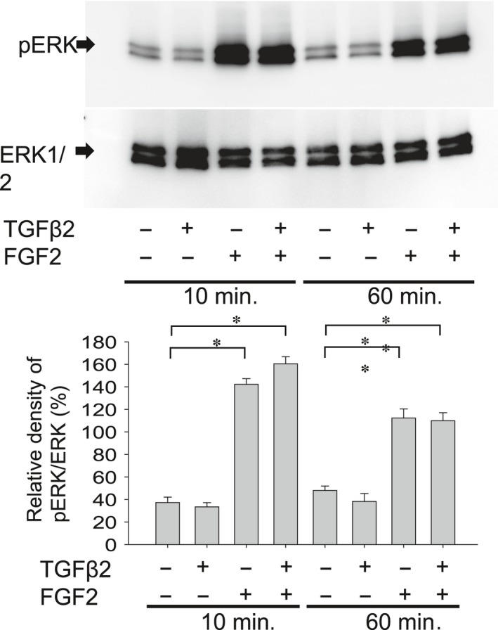Effect of FGF2 and/or TGFβ2 stimulation on activation of ERK1/2 pathway in MLECs. To evaluate the effect of FGF2 with/without TGFβ2 stimulation on phosphorylation of ERK1/2 in MLECs, MLECs were treated with 0 or 10 ng/ml of TGFβ2 and/or FGF2 in <t>DMEM</t> containing 0.1% <t>BSA</t> for 10 or 60 min. Cell lysates were prepared, and Western blotting analysis was performed using anti‐rabbit p44/42 MAPK (Erk1/2) monoclonal Ab or anti‐phospho‐rabbit p44/42 MAPK (Erk1/2) monoclonal Ab. Data were from three experiments and were reported as means ± S.D.s.