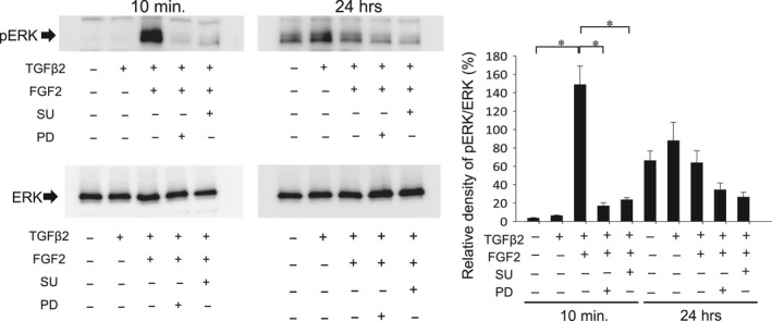 Effect of FGFR antagonist (SU) and MECK inhibitor (PD) on FGF2‐induced activation of ERK pathway. MECK inhibitor (PD) to block ERK pathway and FGFR antagonist (SU) to inhibit FGF2 stimulation were used. To evaluate the effect of FGF2 with/without TGFβ2 stimulation on phosphorylation of ERK1/2, MLECs were treated with 0 or 10 ng/ml of TGFβ2 and/or FGF2 in DMEM containing 0.1% BSA with/without SU or PD for 10 min or 24 hrs. Cell lysates were prepared, and Western blotting analysis was performed using anti‐rabbit p44/42 MAPK (Erk1/2) monoclonal Ab or anti‐phospho‐rabbit p44/42 MAPK (Erk1/2) monoclonal Ab. Data were from three experiments and were reported as means ± S.D.s.