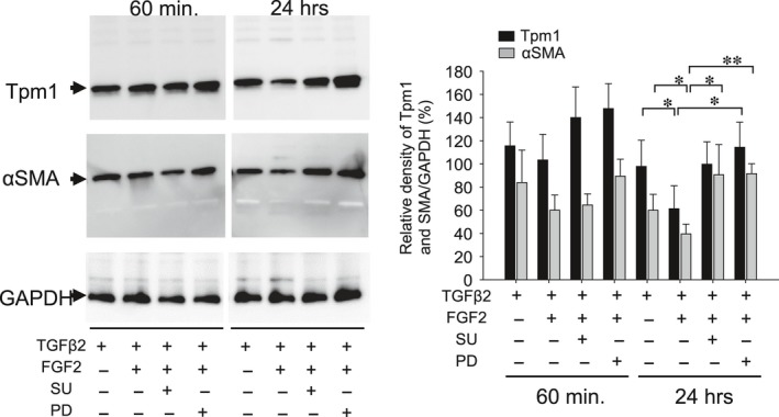 Effect of MECK inhibitor (PD) and FGF2 antagonist (SU) on repression of Tpm1 and αSMA expression in response to FGF2. Cultured MLECs were plated in 35 mm dishes at a density of 1 × 10 5 in DMEM with 10%FBS for 24 hrs. MLECs were treated with 0 or 10 ng/ml of TGFβ2 plus FGF2 in DMEM containing 0.1% BSA with/without SU or PD for 60 min and 24 hrs. Cell lysates were prepared, and Western blotting analysis was performed using anti‐Tpm1/2 Ab and anti αSMA Ab, with GAPDH used for control of protein concentration. Data were from three experiments and were reported as means ± S.D.s.
