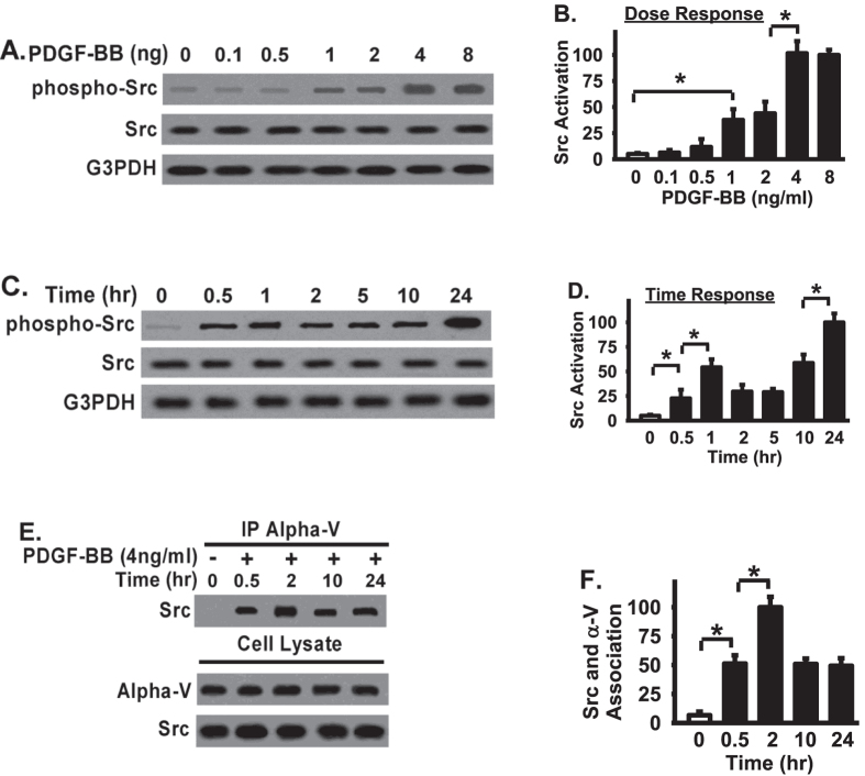 Src is activated in a dose-dependent and time-dependent manner, and directly associated with integrin αV in response to PDGF-BB treatment in fibroblasts. ( A ) Fibroblasts were planted on osteopontin (10 μg/mg), serum starved, treated with PDGF-BB for overnight, and lysed for Western blot. ( B ) Densitometry of Src activation. pY416 of Src levels were normalized to total Src levels. Data were represented as the percentage of Src activation relative to that in highest dose (8 ng/ml, set as 100%). ( C ) Cell lysates were Western blotted with indicated antibodies. ( D ) Densitometry of Src activation from Panel C. pY416 of Src levels were normalized to total Src levels. Data were represented as the percentage of Src activation relative to that in longest time point (24 hours, set as 100. ( E ) Whole cell lysates were used for coimmunoprecipitation with anti- αV IgG, followed by Western blotted with anti-Src antibody to examine the Src-αV interaction. ( F ) Densitometry of Src-αV association from Panel E. Data were represented as the percentage of association elative to that in longest time point (24 hours, set as 100%). *Represents