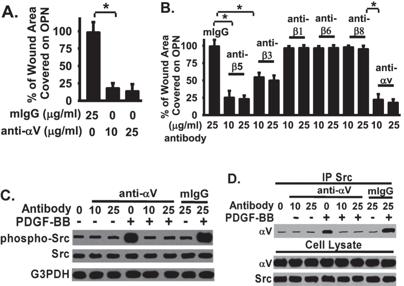 Integrins αVβ5 and αVβ3 are main integrin receptors contributing to Src-mediated fibroblast migration and Src activation on osteopontin. ( A ) Fibroblasts were planted on osteopontin (OPN, 10 μg/mg), serum starved, wounded as in Panel A, treated with PDGF-BB (4 ng/ml), followed by αV integrin blocking antibody. The monolayer wound area was monitored for 24 hours at 37 °C. Data plotted as % of wound area covered over 24 hours relative to control IgG treated fibroblasts (bar 1, defined as 100%). ( B ) Fibroblasts were treated as in Panel A and with PDGF-BB (4 ng/ml), followed by indicated integrin blocking antibodies or control mouse IgG. The monolayer wound area was monitored for 24 hours at 37 °C. Data were plotted as % of wound area covered over 24 hours relative to control IgG treated fibroblasts. ( C ) Fibroblasts were treated as in Panel A and lysed for Src activation. ( D ) Fibroblasts were treated as in Panel A and lysed. Whole cell lysates were used for coimmunoprecipitation with anti-αV IgG, followed by Western blotted with anti-Src antibody to examine the Src-αV interaction. *Represents