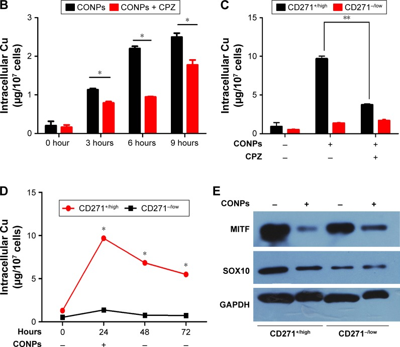 The CD271 +/high melanoma cells could take in more CONPs than CD271 −/low through clathrin-mediated endocytosis. Notes: ( A ) Wortmannin and chlorpromazine rather than dynasore, MβCD and EIPA could promote cell viability. Specific endocytosis inhibitors increased the cell viability of A375 cells treated by CONPs. After being pretreated with 5 kinds of endocytosis inhibitors respectively at different concentrations, A375 cells were cultivated in CONP medium (3.5 μg/mL) for 48 hours. Cells in control group were incubated in CONP medium without pretreatment of inhibitors. CCK8 assay was used to validate effect of inhibitor, n=3. ( B ) Chlorpromazine (5 μM) declined the content of Cu of A375 cells through inhibiting absorption of A375 cells. A375 cells were incubated in CONP medium (3.5 μg/mL) for 3, 6 and 9 hours after chlorpromazine treatment for 2 hours. Intracellular Cu means the total content of Cu in 10 7 A375 cells, n=3. ( C ) Chlorpromazine (5 μM) could significantly decline the content of Cu in CD271 +/high cells. After treating A375 as ( B ), A375 cells were separated into CD271 + /high cells and CD271 −/low cells by FACS and the intracellular Cu was tested by GF-AAS, n=3. ( D ) After cells were treated with CONPs (3.5 μg/mL) for 24 hours, one part of cells was harvested for GF-AAS test, whereas the other part of cells was transferred into CONP-free medium and harvested after 24 and 48 hours, respectively for GF-AAS test. ( E ) The expression of MITF and SOX10 decreased in CD271 +/high and CD271 −/low cells after CONP treatment. A375 cells were treated with CONPs (1.75 μg/mL) for 72 hours, collected and separated into CD271 +/high and CD271 −/low cells by FACS for Western blotting. The error bars represent ± standard deviation (* P