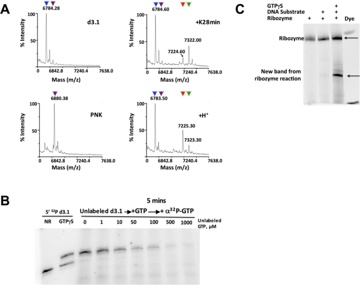 Identification of nucleotidyl adduct. ( A ) MALDI-TOF mass spectrometry of input substrate d3.1 (top left), 5΄-thiophosphorylated d3.1 that was generated by treatment with ATPγS and PNK (bottom left), ribozyme-catalyzed product that was formed by treatment of d3.1 with K28min and GTPγS (top right), and acid-decomposition of the ribozyme-catalyzed product (bottom right). The M–H peaks produced by each treatment are indicated: blue triangles, 6784.28 m/z (expected 6782.17 a.m.u for input d3.1 substrate); magenta triangles, 6880.38 m/z (expected 6878.11 a.m.u for mono-thiophosphorylated d3.1); green triangles, 7322.00 m/z (expected 7319.10 a.m.u for adduct shown in panel F top); red triangles, 7225.3 m/z (expected 7223.16 a.m.u for adduct shown in panel F bottom). ( B ) Incorporation of α- 32 P label into unlabeled acceptor strand. Controls in first two lanes show 5΄- 32 P-labeled d3.1 substrate alone (NR) or incubated with ribozyme K28min and GTPγS (sP). For remaining lanes, non-radiolabeled d3.1 substrate was incubated with ribozyme K28min and [α- 32 P]GTP for 5 min before adding the indicated amount of unlabeled GTP. Reactions were performed at 10°C for 18 h. ( C ) Thiophosphorylation reactions containing the indicated combinations of ribozyme, substrate and donor were treated with sodium periodate, followed by amination with Cy3 hydrazide dye. For the sample in Lane 4, the product of the ribozyme-catalyzed reaction was purified from an APM gel prior to the dye labeling reaction. Gel was scanned for Cy3 fluorescence (Ex. 532 nm Em. 570 nm). Phosphorimages are of 20% denaturing PAGE.