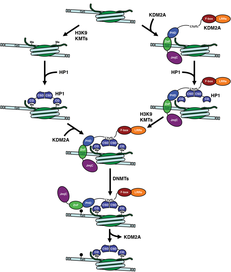 Model for KDM2A-mediated establishment of heterochromatin. The CXXC-Znf enables KDM2A to bind chromatin containing no pre-existing DNA and histone modifications (top). Binding of HP1 to the KDM2A LTVTL motif establishes an alternative to the HP1 recruitment mechanism via the H3K9me3-modification deposited by H3K9 lysine methyltransferases (KMTs) that does not require the K3K9me3 mark. Subsequent deposition of the H3K9me3-modification by H3K9 KMTs leads to reinforced HP1 binding and a stabilization of the KDM2A/HP1/nucleosome interaction. The ability of HP1 to recruit DNMTs leads to deposition of CpG methylation (black pinheads) which results in loss of KDM2A leaving behind DNA-methylated, H3K9me3-modified and HP1-decorated heterochromatin (bottom).