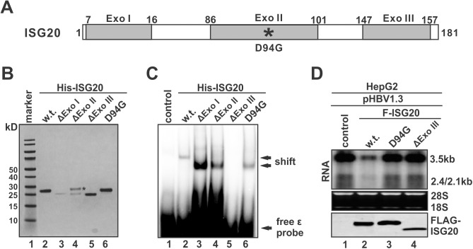 Exo III motif is responsible for ISG20 to bind ε. (A) Schematic illustration of ISG20. The amino acid (a.a) positions are labeled with numbers. The gray boxes indicate the predicted Exo motifs. The enzymatic mutant site (D94G) is marked with an asterisk. (B) Bacterially expressed His-tagged ISG20 and mutants were purified and examined by SDS-PAGE Coomassie staining. The asterisk indicates a nonspecific protein band co-purified with the recombinant ΔExoII mutant. (C) EMSA of ε binding by wildtype ISG20 and the indicated mutants. (D) HepG2 cells were co-transfected with pHBV1.3 and control vector or indicated FLAG-ISG20 constructs. HBV RNA and ISG20 proteins were detected by Northern and Western blot, respectively.