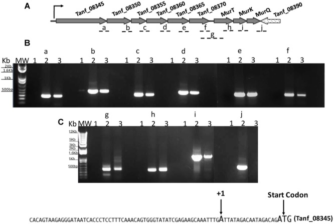 Analysis of AmpG and MurNAc utilization operon. RT-PCR analysis with (A) primer sets spanning adjacent genes (fragments a-j). Tanf_08345, xanthane lyase; Tanf_08350 ( gtf ), glycosyltransferase; Tanf_08355 ( gtf ), glycosyltransferase; Tanf_08360 ( lytB ), amidase enhancer precursor; Tanf_08365 ( ampG ), muropeptide permease; Tanf_08370 ( ybbC ), conserved hypothetical protein. (B) PCR products were separated on a 1% agarose gel. RNA samples with no reverse transcription reaction as template controls were run in lanes 1, genomic DNA as template in lanes 2, and cDNA as template for each primer set in lanes 3. MW; DNA ladder. (C) DNA sequence showing transcriptional start site determine by 5′RACE.