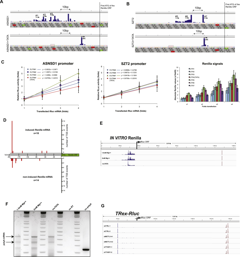 Analysis of Rluc mRNAs, Related to Figures 2 , 3 , 5 , and 6 (A and B) Rluc mRNAs transcribed by ASNSD1 (A) or SZT2 (B) promoters either lacking or bearing an artificial TATA box were subjected to 5′RACE analysis in order to determine their TSSs. Reads were plotted in a quantitative manner using IGV software. Note the first ATG of the Rluc ORF and the precise focusing of the TSS by the TATA box. (C) Evaluation of the effect of the different 5′UTRs on TE. Rluc transcripts bearing the different 5′UTRs identified in A,B (see the numbered arrows) were transcribed in vitro using T7 RNA polymerase, polyadenylated and transfected into MCF7 cells in fold-wise amounts. Renilla luciferase activity was measured 24 hr later and plotted in a relative manner to draw the trend lines that represent the respective ratios of translation. The rightmost panel shows the absolute Rluc signals; n = 4. (D) Rluc mRNAs expressed from either induced or non-induced TRex-Rluc gene were subjected to 5′RACE analysis. Reads (numbers of sequenced colonies) were plotted in a quantitative manner on a scale ranging from TATA box (−243) to ATG (+1). (E) Rluc transcripts produced in vitro using HeLa extract in optimal conditions (1.5mM Mg++), upon high MgCl 2 (3mM Mg++) or from promoter with mutated TATA element (muTATA) were subjected to 5′- and 3′-RACE analyses. The reads from both assays were analyzed and plotted in a quantitative manner using IGV software. (F) Transcripts described in (E) were subjected to analysis of the length of polyA-tails. (G) The TRex-Rluc cassette was induced for 24 hr in cells transfected with the indicated siRNAs. After isolation of total RNA, the 5′- and 3′ ends of the Rluc mRNAs were determined as detailed in (E).