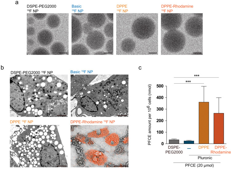 Appearance of phosphoethanolamine-enriched PFCE nanoparticles. (a) Cryogenic transmission electron microscopy (TEM) images of DSPE-PEG2000, Pluronic-basic, Pluronic-DPPE and Pluronic-DPPE-Rhodamine nanoparticles encapsulating PFCE fluorine compound (size-bar for TEM images: 50 nm). (b) Upper two panels and lower left panel show ultrathin sections of <t>DCs</t> labeled with DSPE-PEG2000, basic and DPPE-enriched PFCE nanoparticles (size-bar for EM images: 2 μm). Lower right panel shows a laser scanning microscopy image of DCs labeled with DPPE-Rhodamine-enriched 19 F nanoparticles (size-bar for <t>LSM</t> image: 10 μm). (c) DCs were labeled with different nanoparticle preparations (DSPE-PEG2000 NP, basic NP, DPPE-NP and DPPE-Rhodamine-NP) using a PFCE concentration of 10 μmol per 10 7 , fixed in 2% PFA and transferred (10 6 ) to NMR tubes. 19 F signal was acquired using a 90° block excitation pulse and the PFCE amount per 10 6 calculated using a 500 mM PFCE standard.