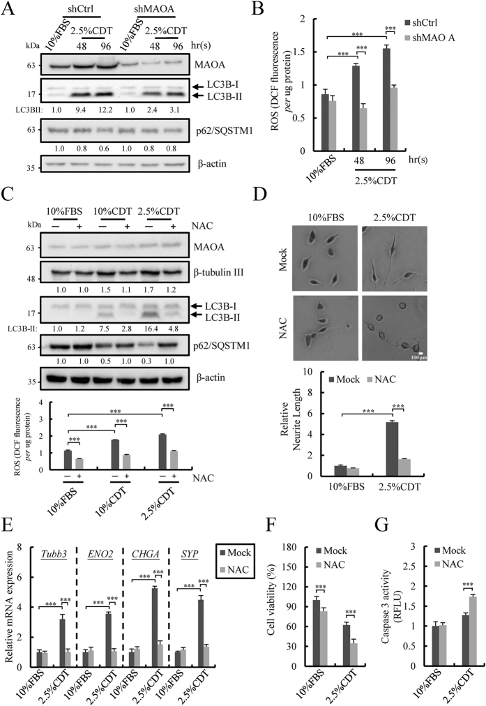 ROS produced by up-regulated MAOA plays an essential role for androgen deprivation-induced autophagy activation, NED and anti-apoptosis. ( A ) Immunoblotting of MAOA, LC3B-II and <t>p62/SQSTM1</t> in shCtrl and shMAOA LNCaP cells treated as described in Fig. 3C for 48 and 96 hours. β-actin was used as loading control. Uncropped images are presented in Supplementary Figure S13A (right). ( B ) ROS production measured by OxiSelect In Vitro ROS/RNS Assay Kit in cells treated as described in ( A ). Data represent mean ± S.D. (n = 3); *** p