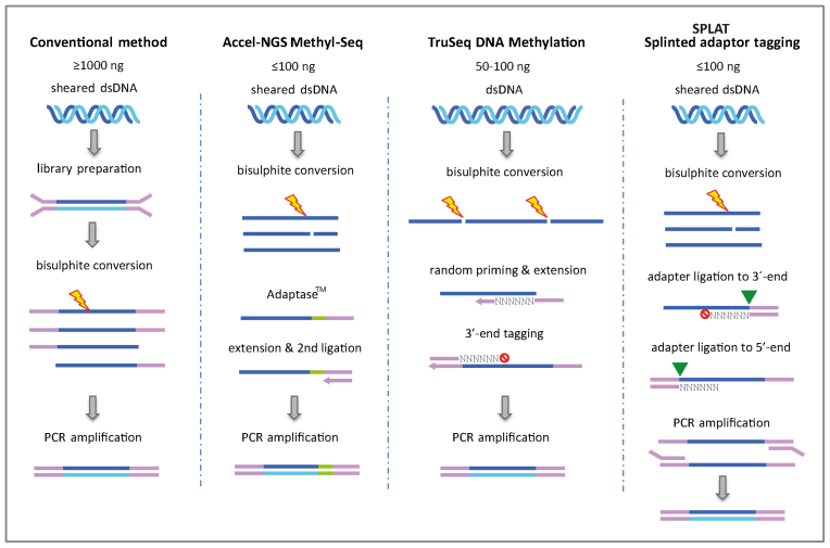 Principles of library preparation methods for whole genome bisulphite sequencing. In the conventional workflow (MethylC-seq) methylated adapters are ligated to double stranded sheared <t>DNA</t> fragments. The constructs are then bisulphite converted prior to amplification with a uracil reading PCR polymerase. The Accel-NGS Methyl-Seq uses the proprietary Adaptase™ technology to attach a low complexity sequence tail to the 3΄-termini of pre-sheared and bisulphite-converted DNA, and an adapter sequence. After an extension step a second adapter is ligated and the libraries are PCR amplified. The <t>TruSeq</t> DNA Methylation method (formerly EpiGnome) uses random hexamer tagged oligonucleotides to simultaneously copy the bisulphite-converted strand and add a 5΄-terminal adaptor sequence. In a subsequent step, a 3΄-terminal adapter is tagged, also by using a random sequence oligonucleotide. In the SPLAT protocol adapters with a protruding random hexamer are annealed to the 3΄-termini of the single stranded DNA. The random hexamer acts as a 'splint' and the adapter sequence is ligated to the 3΄-termini of single stranded DNA using standard T4 DNA ligation. A modification of the last 3΄- residue of the random hexamer is required to prevent self-ligation of the adapter. In a second step, adapters with a 5΄-terminal random hexamer overhang is annealed to ligate the 5΄-termini of the single stranded DNA, also using T4 DNA ligase. Finally the SPLAT libraries are PCR amplified using a uracil reading polymerase.