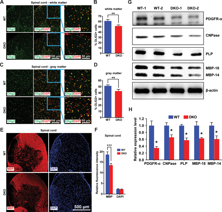Loss of HMGNs affects oligodendrocyte development in mouse spinal cord. ( A–D ) Immunofluorescence showing decreased OLIG2 positive cells in both white matter ( A ) and gray matter ( C ) of DKO mouse spinal cords. ( B, D) Quantifications of four WT and four DKO mice. For each mouse, > 1500 cells from six (white matter) or four (gray matter) different regions of spinal cord sections were counted. ( E ) Immunofluorescence showing decreased <t>MBP</t> level in DKO spinal cords. ( F ) Quantification of panel J, eight WT and eight DKO images were quantified by ImageJ. ( G ) Western blots showing the expression of oligodendrocyte markers in WT and DKO mouse spinal cords. ( H ) Quantifications of panel L, expression levels normalized to <t>β-actin.</t> All the data are presented as mean ± SEM (* P