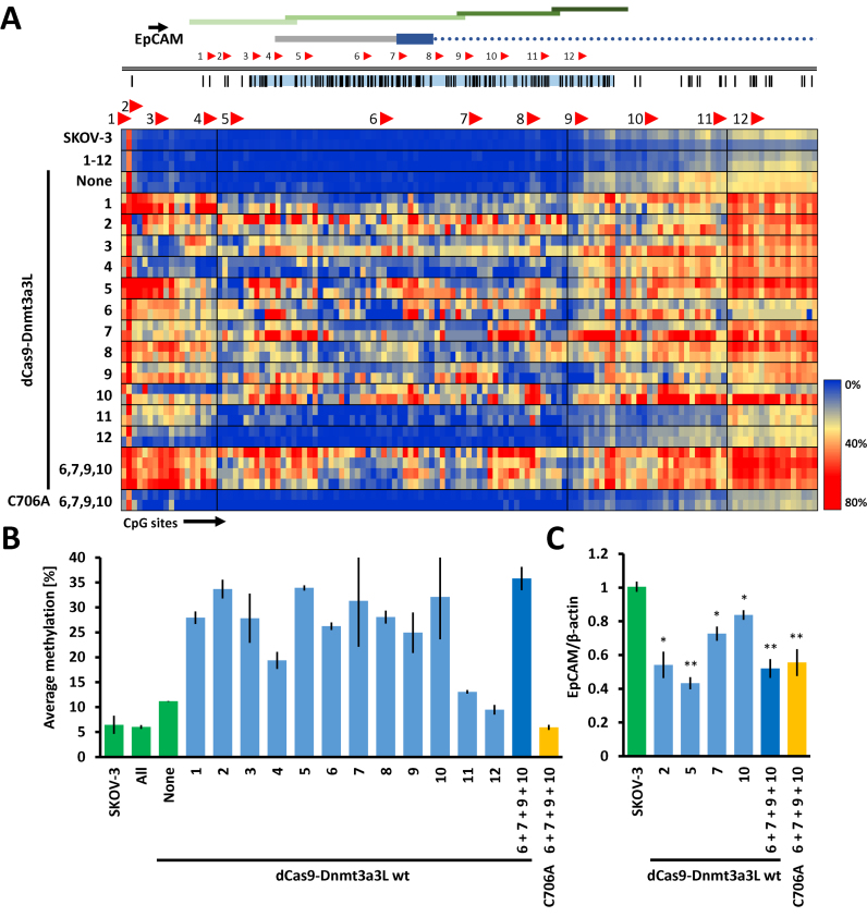 Targeted methylation of the endogenous human EpCAM promoter in SKOV-3 cells with dCas9–Dnmt3a3L. ( A ) The dCas9–Dnmt3a3L fusion protein was targeted either to separate or multiple sites within the CpG island in the EpCAM promoter (Chr. 2: 47368894–47370157). Methylation was investigated in four consecutive amplicons covering the CpG island (indicated with green bars). For details cf. the legend to Fig. 1B . The heat map shows targeted DNA methylation within the EpCAM promoter CpG island when the dCas9–Dnmt3a3L fusion protein was targeted to single or multiple locations within the island. ( B ) Average methylation level observed over the whole analyzed EpCAM promoter region containing 131 CpG sites. The guide RNAs that were used in the targeting experiments are indicated. Error bars represent SEM of average methylation from two biological replicates. Color of the bars denotes experimental sets: green—control experiments, light blue—targeting of the dCas9 fusions with single gRNAs, dark blue—targeting with multiple gRNAs and yellow corresponds to targeting of C706A catalytic mutant. ( C ) Relative EpCAM mRNA expression levels measured with RT-qPCR. The numbers below the bars denote gRNAs that were used to target the dCas9–Dnmt3a3L. The error-bars denote SEM from at least two biological repeats performed in technical triplicate). * P