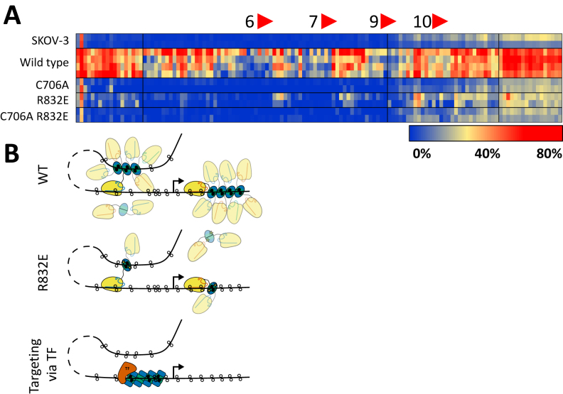 Spreading of DNA methylation is dependent on Dnmt3a3L multimerization. ( A ) Heat map of DNA methylation deposited within the EpCAM promoter region in untransfected SKOV-3 cells and cells co-transfected with a pool of guide RNAs (EpCAM gRNAs 6, 7, 9 and 10) and the dCas9–Dnmt3a3L wild type, catalytically inactive mutant C706A, non-multimerizing R832E mutant or a C706A R832E double mutant. ( B ) Model illustrating the mechanism of DNA methylation setting and spreading. Binding of the effector domain of targeted dCas9–Dnmt3a3L can be achieved both in cis and in trans relative to the DNA strand bound by dCas9 (here shown for two different guide RNAs). This leads to the deposition of DNA methylation (black filled circles) in the direct vicinity of the bound site or on a DNA strand that comes into spatial proximity to the dCas9 bound site. The Dnmt3a3L dimers can multimerize along the DNA via the R832 interaction interface (top). The R832E mutant with a disrupted multimerization interface cannot form fibers, leading to more locally defined DNA methylation either directly next to the dCas9 binding site or further away via DNA looping (middle). In a native situation (bottom), a transcription factor (brown) can recruit native Dnmt3a (green) or in complex with Dnmt3L (blue) to a specific site; this in turn can serve as a nucleation point to elongate the formed fiber causing cooperative deposition of DNA methylation in a larger genomic region.