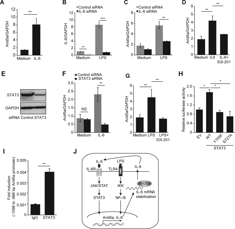 IL-6 stimulates the expression of Arid5a via STAT3 in response to LPS. ( A ) Arid5a mRNA expression was measured using qPCR in MEFs stimulated with IL-6 (35 ng/ml) for 1 h. ( B ) IL-6 mRNA expression was knocked down in MEF cells using an IL-6 siRNA followed by stimulation with LPS (10 μg/ml). ( C ) Expression of Arid5a in LPS-stimulated knockdown MEF cells (10 μg/ml) for 1 h. ( D ) Expression of Arid5a mRNA in MEFs that were pretreated with a Stat3 inhibitor (50 μM) or DMSO (control) for 45 min and then stimulated with IL-6 (35 ng/ml) for 1 h. ( E ) Immunoblot assays of Stat3 expression in MEFs transfected with 20 nM control or Stat3 siRNA. ( F ) Arid5a mRNA expression in the control and Stat3 knockdown MEFs after stimulation with IL-6 (35 ng/ml). ( G ) Expression of Arid5a mRNA in MEFs that were pretreated with a Stat3 inhibitor (50 μM) or DMSO (control) for 45 min and then stimulated with LPS (10 μg/mL) for 1 h. ( H ) Luciferase activity of the Arid5a promoter was determined as described above in 1E in combination with the empty vector or WT Stat3 and its phosphorylation site mutants (Y705F and S727A) expression vectors. ( I ) ChIP assay was performed as described above in 1G using LPS stimulated-macrophages, and chromatins were immunoprecipitated with anti-Stat3 antibody and anti-IgG (negative control). ( J ) Schematic diagram illustrating the mechanism proposed in this study, in which the TLR4/IKK/NF-κB and IL-6/STAT3 signaling pathways transcriptionally regulate Arid5a gene expression. During LPS signaling, NF-κB upregulates Arid5a, which in turn increases the production of IL-6 by stabilizing its mRNA. IL-6 further stimulates the expression of Arid5a and IL-6 via a positive feedback loop. The values are shown relative to normalized levels after cells were transfected using an empty vector. All data are shown the mean ± SD of three independent experiments. Error bars indicate the mean ± SD. NS, not significant; * P