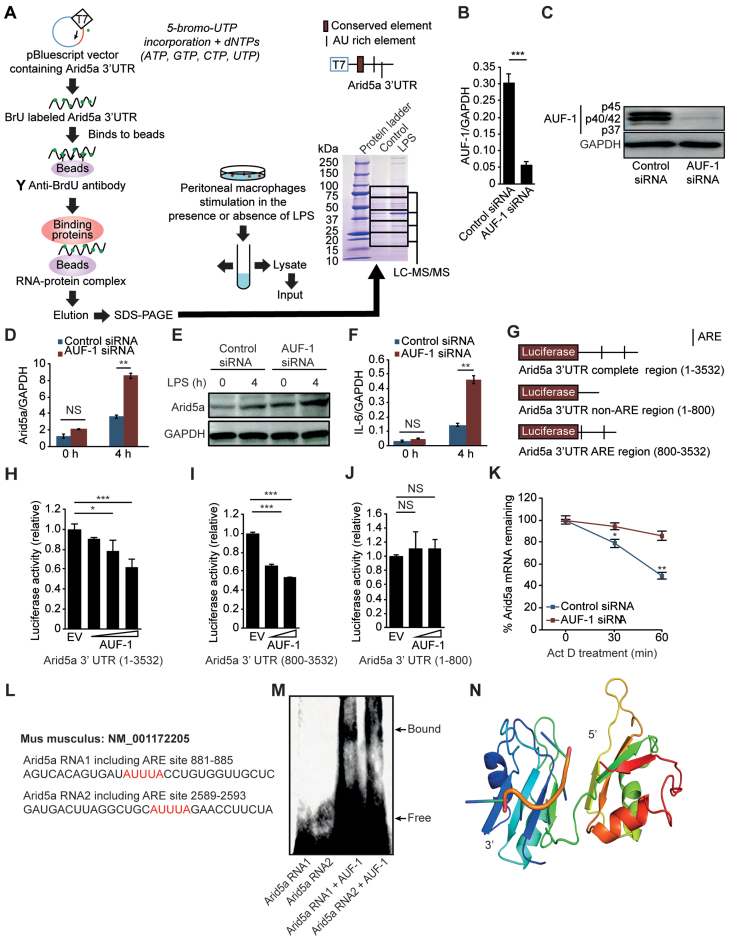 AUF-1 destabilizes the Arid5a mRNA by recognizing the Arid5a 3΄ UTR. ( A ) Identification of the RNA-binding protein AUF-1 on the Arid5a 3΄ UTR. Peritoneal macrophages were stimulated with or without LPS (1 μg/ml) for 4 h. Whole-cell lysates were then obtained and mixed with binding protein G beads in solution with the Arid5a 3΄ UTR (containing BrdU), and the eluted buffer was then subjected to SDS-PAGE. The gel that was run using the complex containing the Arid5a 3΄ UTR and beads was stained using CBB after SDS-PAGE and then separated into five compartments that were independently analyzed using LC-MS/MS. ( B and C ) Analysis of AUF-1 mRNA and protein levels in MEF cells that were transfected with control siRNA or AUF-1 siRNA. ( D–F ) Arid5a mRNA (D) and protein expression (E) and IL-6 mRNA expression (F) in the control and AUF-1 knockdown MEF cells at 4 h after stimulation with LPS (5 μg/ml). ( G ) Diagram of the region of the pGL3 vector that encodes the Arid5a 3΄ UTR (1–3532), Arid5a 3΄ UTR (1-800), or Arid5a 3΄ UTR (800–3532). The black bar shows the locations of AU-rich elements (AREs). ( H–J ) The luciferase activities of each of the vectors that encodes one of three different fragments of the Arid5a 3΄ UTR are shown in G. The results were obtained using MEF cells that were transfected for 48 h with an AUF-1 expression vector or an empty vector. ( K ) Quantitative real-time PCR analysis of the Arid5a mRNA in the control and AUF-1 knockdown MEFs that were stimulated for 2 h with LPS (3 μg/ml). The cells were then treated for 0–60 min with Actinomycin D. ( L ) A predicted ARE region in the Arid5a 3΄ UTR is shown in red. ( M ) Electrophoretic mobility shift assay (EMSA) demonstrating the interaction between the AUF-1 recombinant protein and 3΄-biotinylated fragments with the Arid5a 3΄ UTR, as shown in L. ( N ) Putative binding mode of mouse AUF-1 protein with the homology model of AUF-1 shown as a cartoon with rainbow colors from N (blue) and to C (red). The AUU