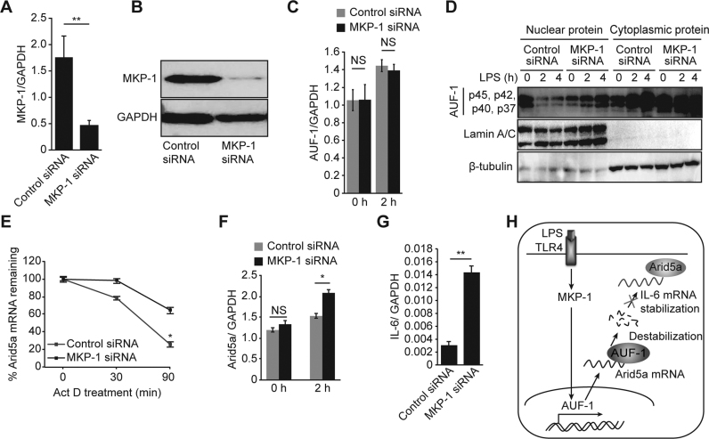 MKP-1 signaling regulates Arid5a mRNA stability by inducing the translocalization of AUF-1 from the nucleus to the cytoplasm. ( A and B ) Analysis of MKP-1 mRNA and protein levels in MEF cells that were transfected with control siRNA and MKP-1 siRNA. ( C ) Quantitative real-time PCR analysis of AUF-1 mRNA levels in control and MKP-1 knockdown cells that were stimulated with LPS (3 μg/ml). ( D ) AUF-1 (p45, p42, p40, p37) levels in the cytoplasm versus the nucleus in control and MKP-1 knockdown MEF cells that were stimulated using LPS for 0–4 h. β-tubulin and Lamin A/C were used as the loading controls for cytoplasmic proteins and nuclear proteins, respectively. ( E ) Quantitative real-time PCR analysis of mRNA levels of Arid5a in control and MKP-1 knockdown MEFs that were stimulated with LPS and then treated with Actinomycin D for 0–90 min. ( F and G ) Quantitative real-time PCR analysis of mRNA levels of Arid5a and <t>IL-6</t> in control and MKP-1 knockdown MEFs that were stimulated with LPS. ( H ) Schematic diagram illustrating the post-transcriptional regulation of Arid5a mRNA. LPS signaling induces MKP-1, which in turn signals AUF-1 to translocate from the nucleus to the cytoplasm. In the cytoplasm, AUF-1 binds to AU-rich elements on the Arid5a 3΄ UTR to destabilize the Arid5a mRNA. This results in the inhibition of the stabilization of the IL-6 mRNA. All data are shown as the mean ± SD of three independent experiments. N.S., not significant. * P