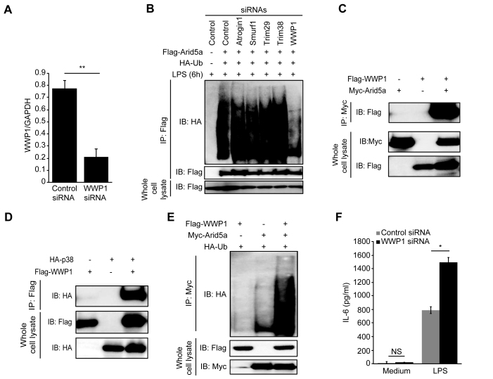 WWP1 E3 ubiquitin ligase mediates Arid5a polyubiquitination. ( A ) Analysis of WWP1 mRNA expression in MEF cells that were transfected with control siRNA and WWP1 siRNA (20 nM each). ( B ) MEF cells were treated with 20 nM control and E3 ubiquitin ligase siRNAs (WWP1, Atrogin1, Trim29, Trim38 and Smurf1) for 72 h and transfected to express hemagglutinin-tagged ubiquitin (HA-Ub) and Flag-tagged Arid5a (as indicated above the lanes). The cells were then stimulated for 6 h with LPS (10 μg/ml) and incubated for 6 h with MG-132 (1 μM) followed by immunoprecipitation with anti-Flag antibodies and immunoblot analyses of ubiquitin (using anti-HA) and Arid5a (using anti-Flag). Below, immunoblots of whole-cell lysates treated with anti-Flag antibody. ( C and D ) Immunoblot analysis of molecular interactions in HEK293TLR4 cells following transfection for 48 h with WT Myc-Arid5a, Flag-WWP1 (C) and HA-p38, Flag-WWP1 (D). The lysates were immunoprecipitated using anti-Myc (C) and anti-Flag (D) antibodies. This was followed by an immunoblot analysis of WWP1 (with anti-Flag antibody), p38 (with anti-HA antibody). Below, immunoblots of whole-cell lysates that were treated with anti-Myc, anti-Flag (C) and anti-HA, anti-Flag (D) antibodies. ( E ) Immunoassays of HEK293TLR4 cells transfected for 48 h to express HA-tagged Ub, Myc-tagged Arid5a or Flag-tagged WWP1 expression vector (as indicated above the lanes), then incubated for 6 h with MG-132 (1 μM) followed by immunoprecipitation with anti-Myc antibodies and immunoblot analyses of ubiquitin (using anti-HA), Below, immunoblots of whole-cell lysates treated with anti-Flag or anti-Myc antibodies. ( F ) IL-6 protein levels in the supernatants of control and WWP1 knockdown MEF cells at 24 h after stimulation with LPS (10 μg/ml). The data are representative of two–three independent experiments.