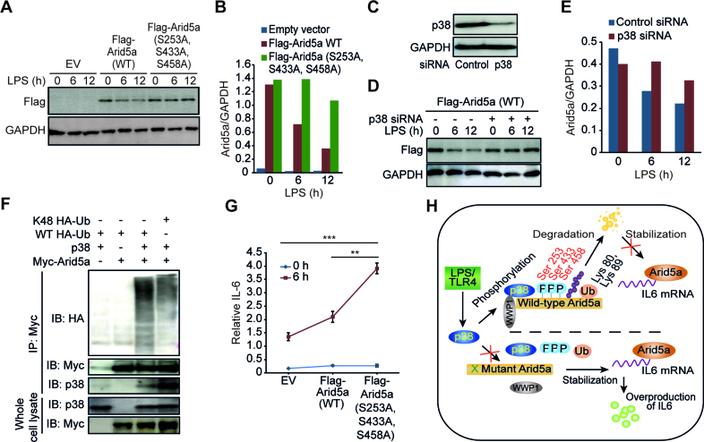 The phosphorylation-mediated degradation of Arid5a affects IL-6 mRNA expression. ( A ) Immunoblot analysis of lysates obtained from Arid5a-deficient MEF cells that expressed an empty vector (EV) or an expression vector containing WT Flag-tagged Arid5a or S253A, S433A and S458A-mutant Flag-Arid5a. The cells were stimulated for 0–12 h (above lane) with LPS (5 μg/ml) and then probed with anti-Flag or anti-GAPDH antibodies. ( B ) Densitometry analysis with results presented as the ratio to GAPDH. ( C ) Immunoblot assay of p38 expression in MEF cells transfected with 20 nM control or p38 siRNA. ( D and E ) Immunoblot (D) and densitometry analysis (E) of Flag-tagged Arid5a protein expression following LPS stimulation in control and p38 knockdown MEFs as described above in (A and B). ( F ) Immunoassay of HEK293TLR4 cells transfected for 48 h to express WT HA-tagged ubiquitin (HA-Ub), K48-HA-Ub, Myc-tagged Arid5a or p38 expression vector (as indicated above the lanes), then incubated for 6 h with MG-132 (1 μM) followed by immunoprecipitation with anti-Myc antibodies and immunoblot analyses of ubiquitin (using anti-HA), p38 (using anti-p38) and Arid5a (using anti-Myc). Below, immunoblots of whole-cell lysates treated with anti-p38 or anti-Myc antibodies. ( G ) Quantitative PCR analysis of the expression level of IL-6 mRNA in total RNA obtained from the cells described in A and presented relative to the level of GAPDH RNA. ( H ) Schematic diagram representing the regulatory mechanism proposed by which degradation of Arid5a by p38 signaling regulates the stability of IL-6 mRNA. The activation of p38 by LPS resulted in the phosphorylation of Arid5a at serine residues 253, 433 and 458, which leads to its ubiquitination on lysine residues 80 and 89 and its subsequent degradation. The degradation of Arid5a results in the inhibition of the stabilization of IL-6 mRNA. Mutating Arid5a at the above described phosphorylation sites blocked it from being degraded, which resulted in the o