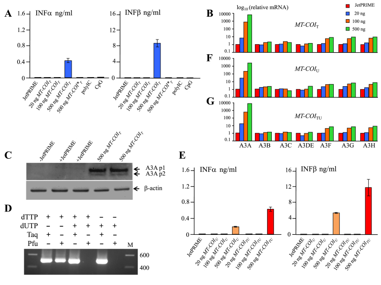 Transfected MT-COI DNA upregulates type I interferon and A3A expression. ( A ) Interferon α and β production following transfection of THP-1 cells by dT containing PCR DNA fragments. MT-COI * indicates incubation with DNA but no transfection. ( B ) APOBEC3 transcription profiling of transfected THP-1 cells. Data were normalized to the expression levels of RPL13A housekeeping reference gene. Profiling was performed in duplicate and normalized to JetPRIME to facilitate comparison. ( C ) Western blot of A3A isoforms p1 and p2 from transfected THP-1 and compared to β-actin. Lanes 2, 3 and lanes 4, 5 represent duplicates. ( D ) Agarose gel of MT-COI PCR products (511 bp) amplified with Taq or Pfu polymerase in the presence of dTTP, dUTP, dTTP+dUTP. M, molecular weight markers. ( E ) Interferon α and β production following transfection of THP-1 cells by dU or 50:50 mixture dT+dU containing PCR DNA fragments. ( F and G ) Transcriptomes were established for DNA containing dU (F) or a 50:50 mixture of dT and dU (G). Duplicates were normalized to the expression levels of RPL13A housekeeping gene and normalized to JetPRIME to facilitate comparison.
