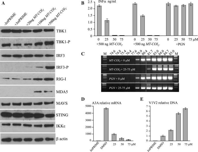 Transfected dsDNA triggers the RIG-I pathway via RNA polymerase III. ( A ) Western blots of TBK1, TBK1-P (phosphorylated), IRF3, IRF3-P (phosphorylated), RIG-I, MDA5, MAVS, STING, IKKε at 24 h post DNA transfection of THP-1 cells. ( B ) Interferon alpha production by DNA transfected THP-1 cells along with RNA Polymerase III inhibitor (ML-60218). Peptidoglycans (PGN) were used as control. ( C ) A3-edited MT-CYB DNA recovered by 3DPCR in presence or absence of 25–75 μM of RNA polymerase III inhibitor. The white line indicates the threshold between edited and unedited 3DPCR products. M: molecular weight markers. ( D and E ) Transcription profiling of A3A and quantification of V1V2 DNA upon V1V2 DNA transfected THP-1 cells along with RNA polymerase III inhibitor (ML-60218).