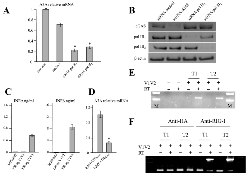 Cytoplasmic RNA synthesis by DNA-dependent RNA polymerase III binds to RIG-I. ( A ) THP-1 cells were transfected with control siRNA or 2 RNA polymerase III siRNA (siRNA polIII 1 and siRNA polIII 2 ) or cGAS siRNA. Six hours post-transfection with siRNA, cells were transfecte with 500 ng of MT-COI DNA. At 24 h post-transfection, total RNA was extracted and quantitative PCR was performed on A3A. ( B ) WB control of the experiment performed in 5A, using cGAS, pol III 1 and pol III 2 antibodies. The β-actin loading controls are shown below. ( C ) Interferon alpha and beta production by THP-1 following transfection by 500 ng V1V2 HIV-1 DNA. JetPRIME was used as control. ( D ) A3A quantification by THP-1 following transfection by 500 ng inMT-COI 0 mut. and inMT-COI 32 mut. DNA. ( E ) V1V2 RNA transcripts from DNA transfected THP-1 cells. Total RNA was extracted at 24 h and a cDNA corresponding to V1V2 was produced in presence or absence of RT and amplified by PCR. T1 and T2 refer to independent transfections. ( F ) Immunoprecipitation with an anti-RIG-I monoclonal antibody performed at 8 h along with an anti-HA as control. V1V2 specific RT-PCR products were recovered only from anti-RIG-I immunoprecipitation. RT, T1 and T2 as for 5E. '*' indicates statistically significant difference between two observed values ( P