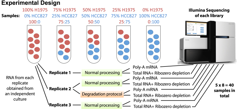 Experimental design of the mixture control experiment. RNA from two lung cancer cell lines (NCI-H1975 and HCC827) were obtained after culture on three separate occasions to obtain samples for three replicates to simulate some degree of biological variability. RNA from each replicate was either kept pure or mixed in three different proportions. The second replicate of each mixture was split in two and either processed normally or heat treated (incubated at 37°C for 9 days, see Materials and Methods) to degrade the RNA and simulate variations in sample quality. Each sample was then processed using either Illumina's TruSeq RNA v2 kit (Poly-A mRNA) or Illumina's TruSeq Total Stranded RNA kit with Ribozero depletion followed by sequencing on an Illumina HiSeq 2500 to obtain 100 bp single-end reads for further analysis.