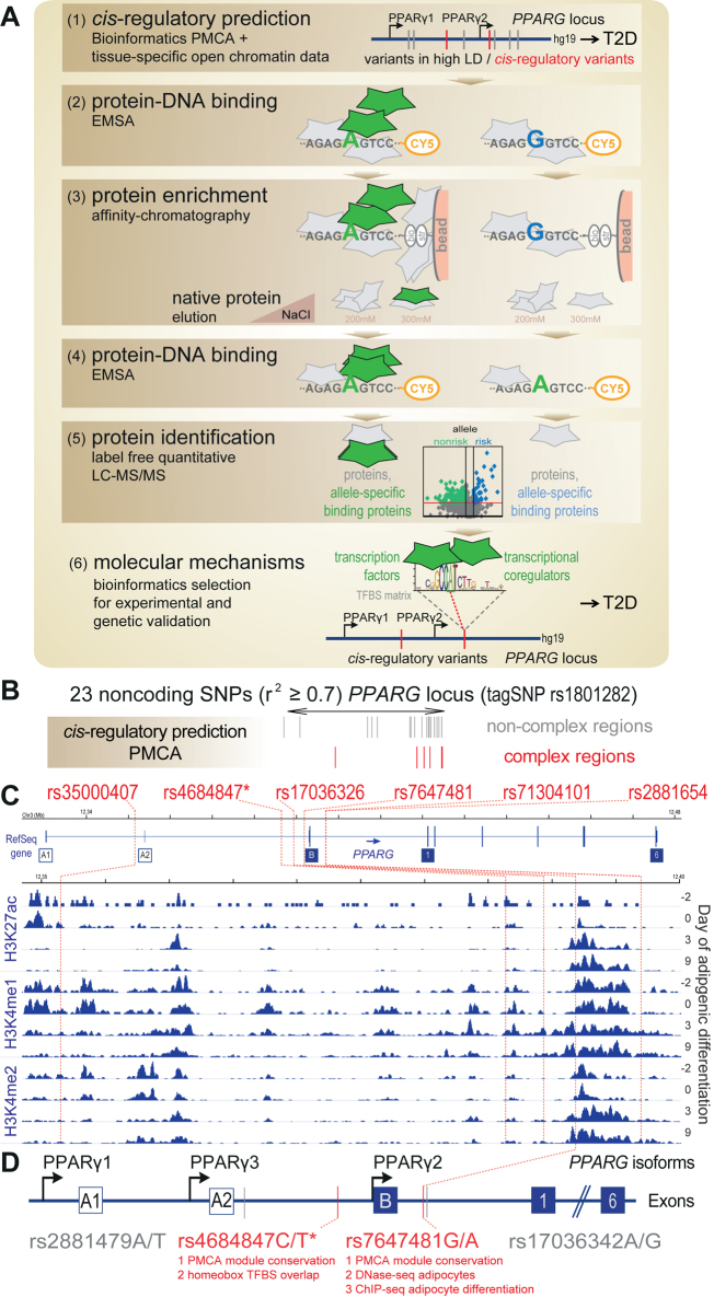 Discovery of allele-specific binding proteins at cis -regulatory variants. ( A ) Workflow: (1) cis-regulatory variant prediction at disease associated variants ( PPARG ) in high LD ( r 2 ≥ 0.7 ( 6 )) by integrating bioinformatics phylogenetic TFBS module complexity analysis and regulatory chromatin marks; (2) protein–DNA binding assessed by Cy5 labeled oligonucleotides matching the risk and nonrisk allele, respectively, in electrophoretic mobility shift assay (EMSA); (3) protein enrichment with biotin (bio) labeled oligonucleotides on streptavidin-beads (str) and elution of native protein complexes with increasing concentration of NaCl; (4) protein–DNA binding in eluted fractions; (5) protein identification and quantification by LC–MS/MS and subsequent label-free quantitative analysis; and (6) molecular mechanisms, experimental and genetics verification of significant allele-specific binding transcription factors and related coregulators. (B–D) Bioinformatics and public domain epigenomic marks of regulatory regions infer the cis -regulatory variant rs7647481 at the PPARG locus (related to Supplementary Figure S1 ). ( B ) PMCA analysis of cross-species TFBS pattern conservation predicted six indicated candidate cis -regulatory SNPs at complex regions ( 6 ) (red) out of 23 noncoding proxy SNPs ( r 2 ≥ 0.7 ( 6 )) at the type 2 diabetes (T2D) associated PPARG locus (tagSNP rs1801282). ( C ) Overlap of six variants identified in (B) with H3K27ac (histone H3-lysine 27 acetylation), H3K4me1 and H3K4me2 (histone H3–lysine 4 mono- and di-methylation) histone modification regions at the PPARG locus during adipogenic differentiation of primary human adipocyte stem cells ( 36 ), GSE21366, genomic coordinates are given conform to hg19. ( D ) Localization of cis- regulatory (red) and non cis -regulatory (grey) variants subjected to workflow (A2–6) relative to transcriptional start site of the PPARG1–3 mRNA isoforms. rs7647481 overlapping with both, day 3 and day 9, tested late st
