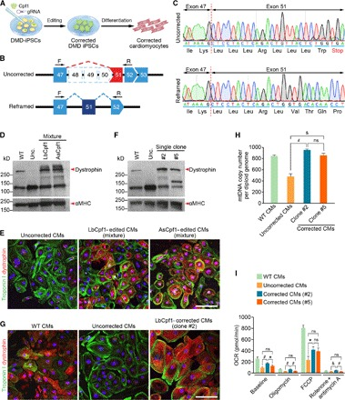 DMD iPSC-derived cardiomyocytes express dystrophin after Cpf1-mediated genome editing by reframing. ( A ) DMD skin fibroblast-derived iPSCs were edited by Cpf1 using gRNA (corrected DMD iPSCs) and then differentiated into cardiomyocytes (corrected cardiomyocytes) for analysis of genetic correction of the DMD mutation. ( B ) A DMD deletion of exons 48 to 50 results in splicing of exon 47 to 51, generating an out-of-frame mutation of dystrophin. Forward primer (F) targeting exon 47 and reverse primer (R) targeting exon 52 were used in RT-PCR to confirm the reframing strategy by Cpf1-meditated genome editing in cardiomyocytes. Uncorrected cardiomyocytes lack exons 48 to 50. In contrast, after reframing, exon 51 is placed back in frame with exon 47. ( C ) Sequencing of representative RT-PCR products shows that uncorrected DMD iPSC-derived cardiomyocytes have a premature stop codon in exon 51, which creates a nonsense mutation. After Cpf1-mediated reframing, the ORF of dystrophin is restored. Dashed red line denotes exon boundary. ( D ) Western blot analysis shows dystrophin expression in a mixture of DMD iPSC-derived cardiomyocytes edited by reframing with LbCpf1 or AsCpf1 and g1 gRNA. Even without clonal selection, Cpf1-mediated reframing is efficient and sufficient to restore dystrophin expression in the cardiomyocyte mixture. α-Myosin heavy chain (αMHC) is loading control. ( E ) Immunocytochemistry shows dystrophin expression in iPSC-derived cardiomyocyte (CM) mixtures following LbCpf1- or AsCpf1-mediated reframing. Red, dystrophin staining; green, troponin I staining. Scale bar, 100 μm. ( F ) Western blot analysis shows dystrophin expression in single clones (#2 and #5) of iPSC-derived cardiomyocytes following clonal selection after LbCpf1-mediated reframing. αMHC is loading control. ( G ) Immunocytochemistry shows dystrophin expression in clone #2 LbCpf1-edited iPSC-derived cardiomyocytes. Scale bar, 100 μm. ( H ) Quantification of mtDNA copy number in single clone