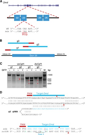 CRISPR-Cpf1–mediated editing of exon 23 of the mouse Dmd gene. ( A ) Illustration of mouse Dmd locus highlighting the mutation at exon 23. Sequence shows the nonsense mutation caused by C-to-T transition, which creates a premature stop codon. ( B ) Illustration showing the targeting location of gRNAs (g1, g2, and g3) (in light blue) in exon 23 of the Dmd gene. Red line represents LbCpf1 PAM. ( C ) T7E1 assay using mouse 10T1/2 cells transfected with LbCpf1 or AsCpf1 with different gRNAs (g1, g2, or g3) targeting exon 23 shows that LbCpf1 and AsCpf1 have different cleavage efficiency at the Dmd exon 23 locus. Red arrowheads show cleavage products of genome editing. M, marker. ( D ) Illustration of LbCpf1-mediated gRNA (g2) targeting of Dmd exon 23. Red arrowheads indicate the cleavage site. The ssODN HDR template contains the mdx correction, four silent mutations (green), and a Tse I restriction site (underlined).