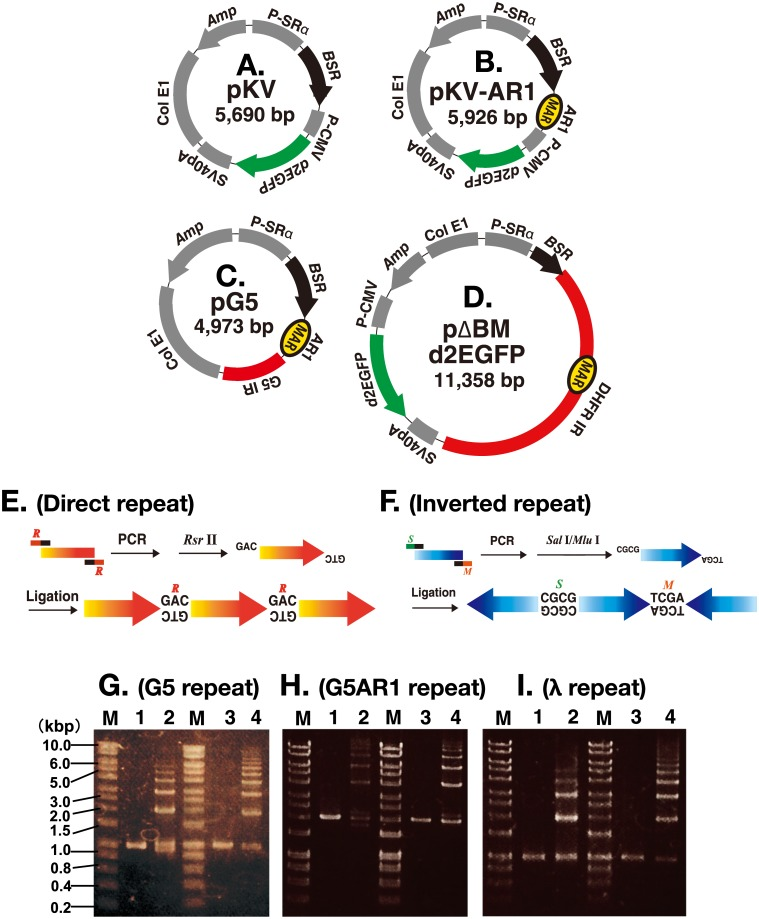Preparation of repeat DNA and construction of plasmids. (A to D) Structure of the plasmids used in this study. (E and F) Direct or inverted repeat DNA was prepared by PCR amplification, digestion with Rsr II (R) or double digestion with Sal I (S) and Mlu 1 (M), respectively, followed by ligation. (G to I) G5 (G), G5AR1 (H), or a portion of λ (I) DNA before (lanes 1 and 3) and after ligation to direct repeats (lane 2) or inverted repeats (lane 4). DNA was separated by agarose gel electrophoresis. M; molecular weight marker.