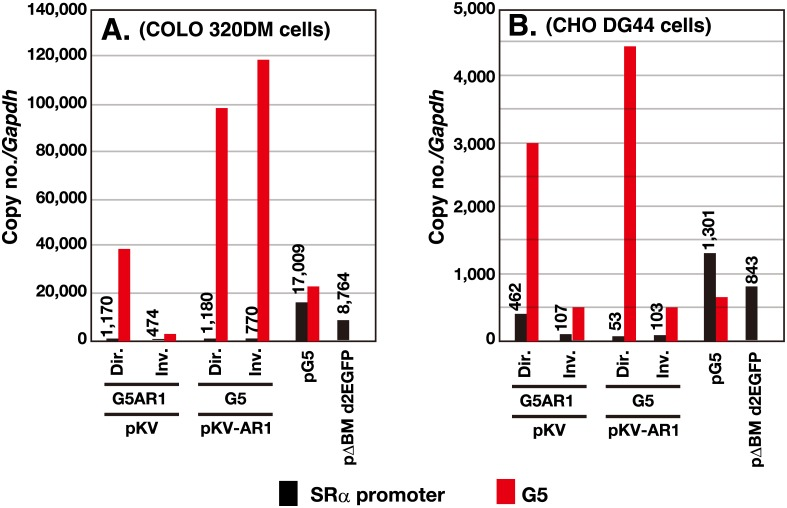 Copy number of the transfected sequence in the stable transformants. After transfection of the indicated DNA into COLO 320DM or CHO DG44 cells, the stable transformants were selected by blasticidin for 1 month. The genomic DNA was isolated and subjected to real-time PCR to determine the amount of SRα promoter, G5, λ-phage, and Gapdh sequence. The PCR reaction was done in triplicate, and the mean value was used to calculate the copy number of each sequence relative to Gapdh (see graph). The deviation between triplicate reactions was too small to be represented with error bars.