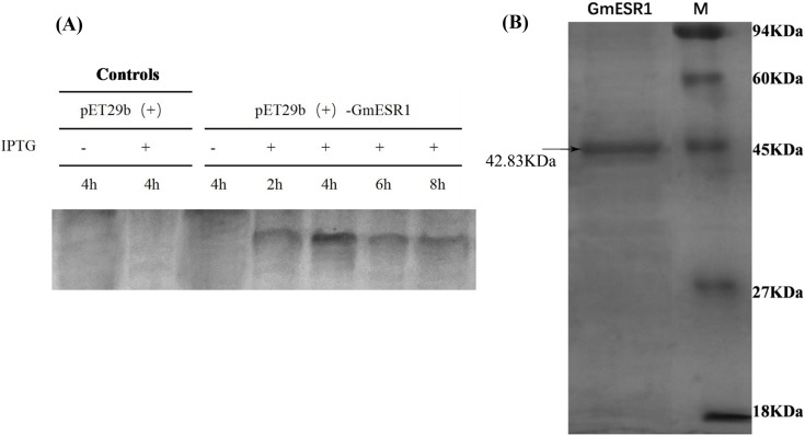 Analysis of the purified recombinant GmESR1 protein. (A) The recombinant GmESR1 protein, induced with 0.5 mM IPTG at 37°C for 2, 4, 6, and 8 h in E . coli BL21 competent cells. (B) SDS-PAGE analysis of the purified recombinant GmESR1 protein using the His-Bind kit.