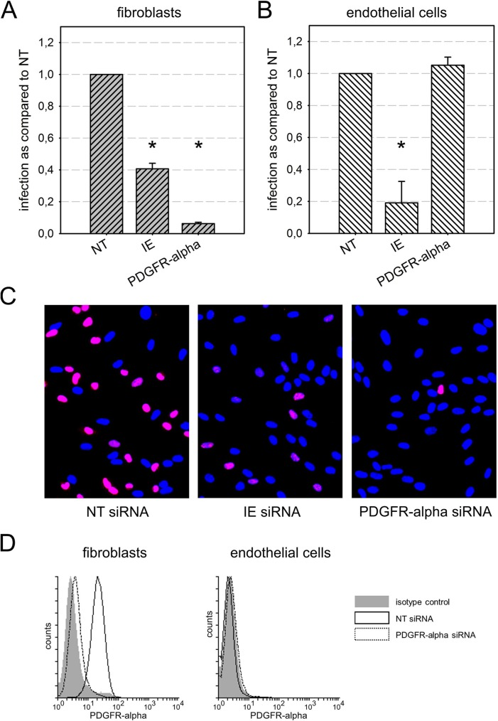 Effect of siRNA-mediated depletion of PDGFR-alpha on infection efficiency in fibroblasts and endothelial cells. Fibroblasts (A) and endothelial cells (B) were transfected with siRNAs targeting PDGFR-alpha. Non-targeting (NT) siRNAs and siRNAs against the viral immediate early (IE) proteins were included as controls. Two days after transfection, cells were infected with HCMV strain TB40/E, and the next day viral IE antigens were detected by indirect immunofluorescence for visualization of infected cells. The number of IE antigen-positive cells was counted and compared to the NT control. Error bars in (A) and (B) represent the standard error of the mean (SEM). Significant differences as compared to NT control are indicated by asterisks. C : Examples of HCMV IE antigen expression (red fluorescence) in HFFs after treatment with the respective siRNAs. Nuclei of non-infected cells appear blue due to counterstaining with DAPI. D: Fluorescence-activated cell sorting (FACS) for detection of PDGFR-alpha on the surface of fibroblasts and endothelial cells 2 d after treatment with PDGFR-alpha siRNA or non-targeting (NT) siRNA. NT siRNA represents PDGFR-alpha levels without specific knockdown. Isotype control antibody was included as a negative control for staining.