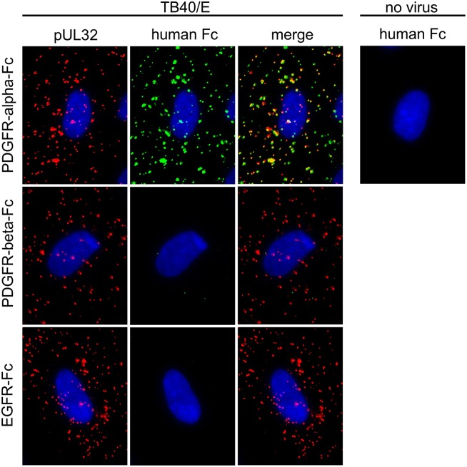 Binding of soluble growth factor receptor-Fc chimeras to HCMV particles. Virus preparations of strain TB40/E were pretreated for two hours with 500 ng/ml PDGFR-alpha-Fc, PDGFR-beta-Fc or EGFR-Fc and then incubated with fibroblasts for 90 min on ice. Cells were fixed and stained for the viral structural protein pUL32 (red) and for the Fc-fusion part (green). Nuclei were counterstained with DAPI.
