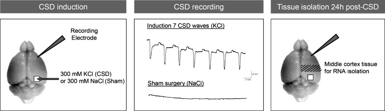 Overview of the experimental procedures for CSD induction, recording and cortical tissue isolation. CSD induction: CSD events were induced under <t>isoflurane</t> anaesthesia by 30-s application of 300 mM KCl ('CSD-treated'; or 300 mM NaCl for 'Sham-treated' groups) on a craniotomy window overlaying the occipital cortex while DC-potential recordings were made from a glass electrode in the frontal cortex. CSD recording: induction of seven CSD waves was obtained by seven applications of KCl, each eliciting a single CSD event in both WT and FHM1 R192Q mutant mice, at 5-min intervals. Sham surgery with application of 300 mM NaCl did not elicit CSD events. Tissue isolation 24 h post-CSD: 24 h after the end of the CSD or Sham procedure brain tissue was isolated. The middle part of the right-sided cortex (including parietal cortex), through which the CSD waves travelled (hashed area), was dissected for RNA profiling