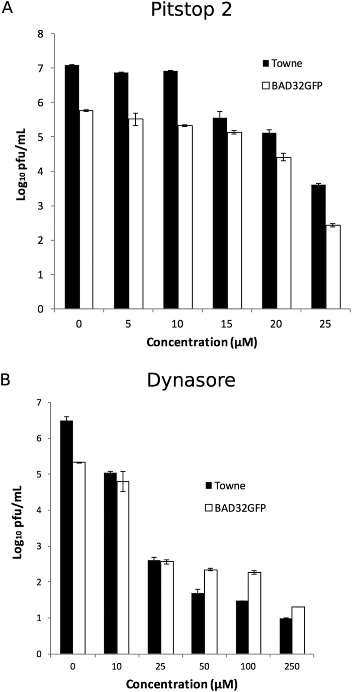 Inhibition of endocytosis impacts the growth of HCMV laboratory strains (Towne and AD169 (BAD32GFP)) in fibroblasts. Confluent HF monolayers were pretreated with dynasore, or pitstop 2 for 1 h, and then infected with Towne or BAD32GFP virus at an MOI of 3.0 in the medium containing the same drug for one hour, washed and thereafter incubated in the presence of the drug. Samples of infected-cells in the cell culture medium were harvested at 5 days post infection and stored at −80 °C before titration. Concentration of pitstop 2 ( A ) in the range of zero to 25 μM or of dynasore ( B ) in the range of zero to 250 μM led to dose dependent inhibition of final virus yields. Triplicate samples were used.