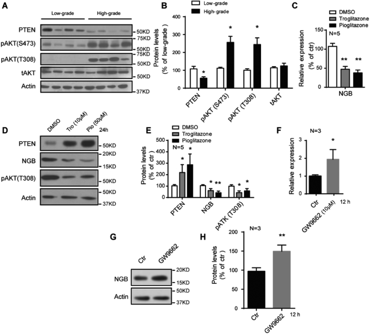 PPARγ negatively regulates the expression of NGB. (A and B) Representative images of western blots and quantification show decreased PTEN and increased phosphorylation of AKT in high-grade gliomas (N=21) than those in low-grade gliomas (N=18). Error bars indicate SEM. *p