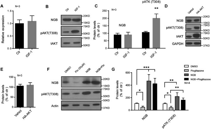 <t>NGB</t> regulates the phosphorylation of <t>AKT</t> in glioma cells. (A) qRT-PCR shows no changes of NGB mRNA levels after IGF-1 (100 ng/ml) treatment for 6 h in U87 cells. Error bars indicate SEM. N=3. (B and C) Representative images of western blots and quantification show no changes of NGB protein levels after IGF-1 (100 ng/ml) treatment for 6 h in U87 cells. Error bars indicate SEM, **p