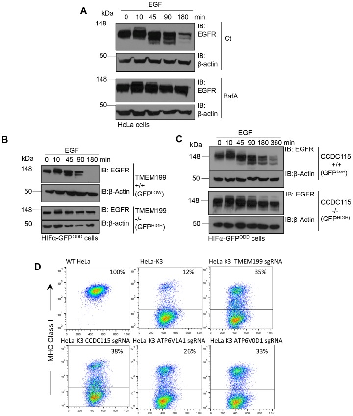 TMEM199 and CCDC115 and are required for lysosomal degradation of EGFR and MHC Class I. ( A ) EGFR degradation assay for wildtype and BafA treated cells. HeLa cells were cultured in the presence or absence of 10 nM BafA for 24 hr. Cells were stimulated with EGF and lysed at the indicated times. Lysates were subjected to SDS-PAGE and immunoblotted for EGFR. β-actin was used as a loading control. ( B, C ) EGFR degradation assay for TMEM119 and CCDC115 deficient cells. HIF1α-GFP ODD cells were transduced with Cas9 and sgRNA to TMEM199 ( B ) or CCDC115 ( C ). After 14 days, cells were sorted into TMEM199 or CCDC115 sufficient (+/+, GFP LOW ), and TMEM199 or CCDC115 null (−/−, GFP HIGH ) populations as described. Cells were then cultured for 24 hr before stimulation with EGF (100 ng/ml), harvested at indicated times and immunoblotted for EGFR. ( D ) MHC Class I degradation in HeLa cells expressing K3. HeLa-K3 cells were transduced with Cas9 and sgRNA to TMEM199, CCDC115, ATP6V1A1 or ATP6V0D1. After 14 days, cell surface MHC Class I levels were measured by flow cytometry (mAb W6/32). Wildtype HeLa cells were used as a control for total MHC Class I. Percentages of cells with MHC Class I at the cell surface are shown. DOI: http://dx.doi.org/10.7554/eLife.22693.006