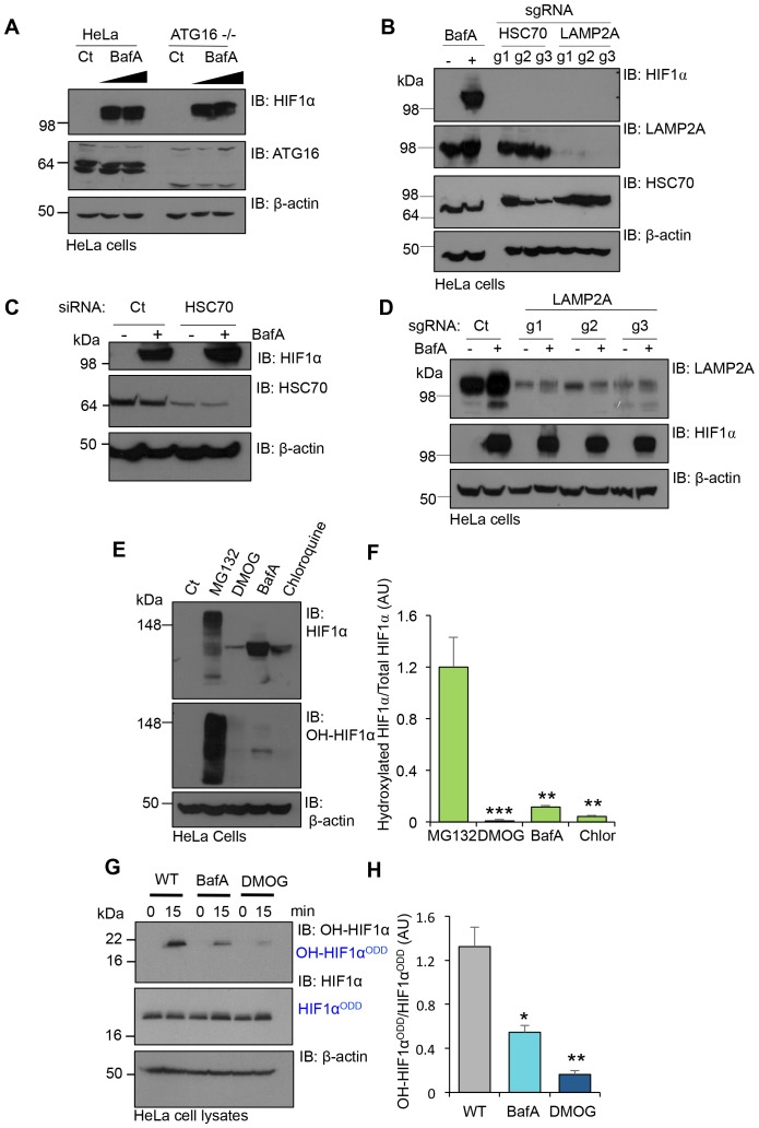 V-ATPase depletion or inhibition stabilises HIF1α in a non-prolyl hydroxylated form. ( A ) HIF1α stabilisation in ATG16 null HeLa cells. HeLa cells and ATG16 null cells were treated with increasing concentrations of BafA (10 nM and 100 nM) before immunoblotting for HIF1α. ( B ) HIF1α levels following depletion of HSC70 and LAMP2A in aerobic conditions. HSC70 and LAMP2A depleted cells were generated using CRISPR-Cas9 gene editing with three individual sgRNAs (g1, g2, g3). HIF1α, LAMP2A and HSC70 levels were visualised by immunoblot. Untreated (Ct) and BafA treated HeLa cells were used as controls. ( C ) HIF1α levels following siRNA-mediated depletion of HSC70. HeLa cells were transfected with siRNA to HSC70 or an siRNA control (Ct), and HIF1α or HSC70 levels measured by immunoblot after 96 hr. Cells were treated with or without 10 nM BafA for 24 hr prior to lysis. ( D ) LAMP2A deficient HeLa cells were treated with or without 10 nM BafA for 24 hr. Three different sgRNAs were used (g1, g2, g3). ( E, F ) Immunoblot of total HIF1α and the prolyl hydroxylated form in response to MG132, DMOG, BafA and Chloroquine ( E ). Quantification of immunoblots represented using ImageJ analysis ( F ) (n = 3). ( G, H ) In vitro prolyl hydroxylation of the HIF1α ODD protein following incubation with lysates from WT, BafA and DMOG treated HeLa cells. The levels of hydroxylated HIF1α were measured using a prolyl hydroxy-HIF1α specific antibody ( G ). Quantification of the in vitro hydroxylation assay using ImageJ analysis ( H ) (n = 3). Values are mean±SEM. *p