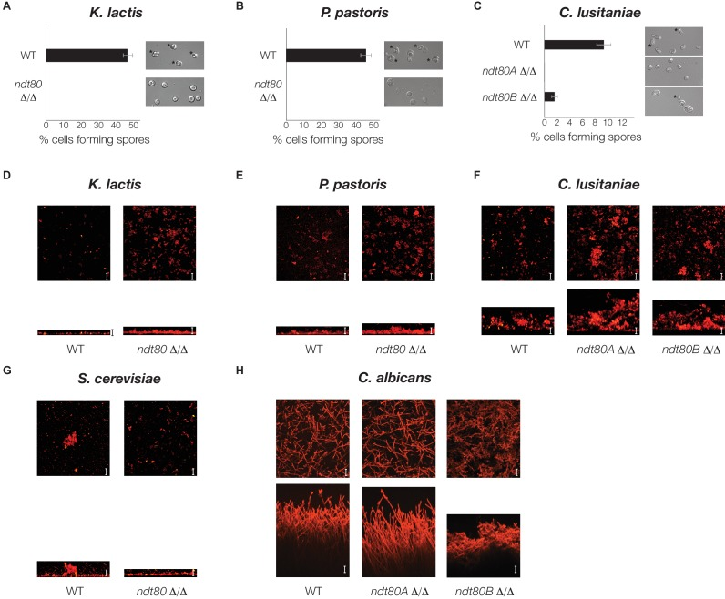 Ndt80 is required for sporulation but is dispensable for biofilm formation, in K. lactis , P. pastoris , and C. lusitaniae . ( A–C ) Light microscope images of genetically matched wild-type and ndt80 deletion strains (Stars indicate diploid cells that have undergone sporulation) and quantification of the percent of cells exhibiting spores, as measured by microscopy (200 cells counted for each strain). ( D–H ) Confocal scanning laser microscopy images of biofilm formation for genetically matched wild-type and ndt80 deletion strains. Top view of biofilm shown above side view for each, with scale bars representing 25 µm. DOI: http://dx.doi.org/10.7554/eLife.23250.014