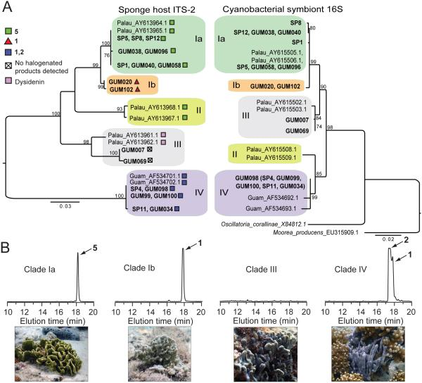 Host and symbiont phylogenies ( A ) Left: Midpoint-rooted, maximum likelihood (ML) phylogeny based on sponge ribosomal ITS-2 sequences from the current study (in bold) along with representative literature examples. Identical sequences are listed at a single branch tip, with symbols denoting dominant natural product chemistry. Bootstrap values ≥70 are shown; scale bar indicates substitutions per site. Matching superscripts indicate literature ITS-2 and <t>16S</t> <t>rRNA</t> sequences obtained from the same sponge specimen. Right: H. spongeliae ML tree of near-full length 16S rRNA gene sequences, including closest free-living relative Oscillatoria corallinae , and rooted on closest relative with a sequenced genome, Moorea producens 3L. One full-length 16S rRNA gene sequence (GUM098) was obtained from clone library (see Figure 3 ). Remaining Clade IV 16S rRNA sequences in this study, denoted in parentheses, are represented by 370 bp sequences obtained from high-throughput community data that are 100% identical to the GUM098 full-length sequence. ( B ) Chemical profiles, as monitored by absorbance at 280 nm by HPLC with in situ photographs of representative sponges for each clade.